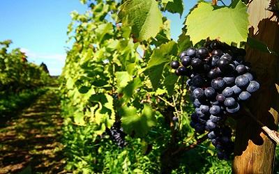 Wijnrank Groesbeek
